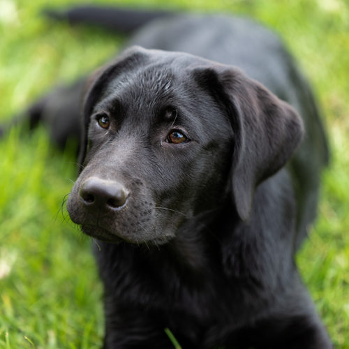 A portrait of a beautiful black Labrador puppy lying on grass.