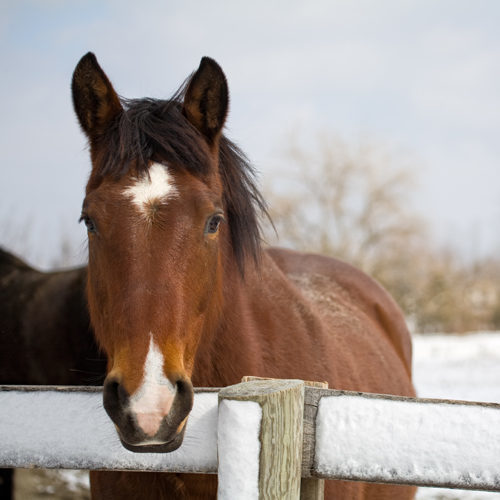 A thoroughbred horse standing at a snow-covered fence. Space available on right for copy/text.