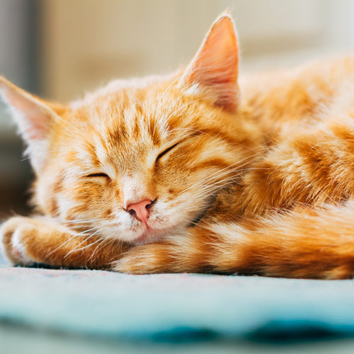 Close up of Small Peaceful Orange Red Tabby Cat Male Kitten Curled Up Sleeping In His Bed On Floor. Heat in house.