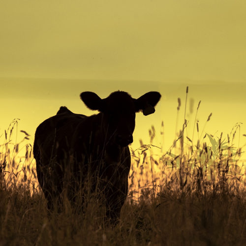 Angus heifer standing in tall grass in silhouette against a yellow background