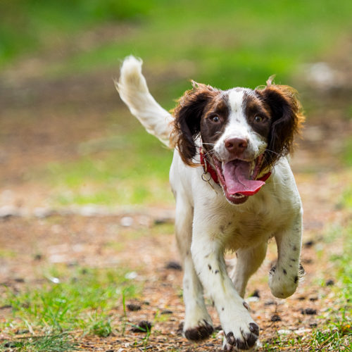 Happy Springer Spaniel Puppy walking